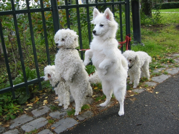 White_dogs_on_hind_legs